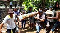 Harimau Benggala di Kebun Binatang Mangkang, Semarang yang lepas dari kandang berhasil dilumpuhkan. (Foto: Liputan6.com/BKSDA Jateng/Muhamad Ridlo)