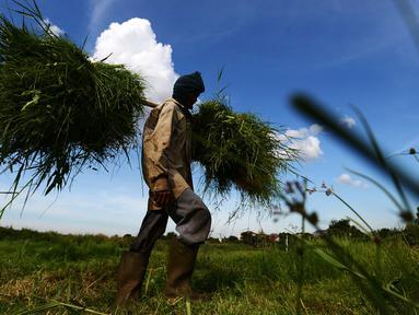 Suwandi (80) membawa rumput di perkebunan Kalimalang, Jakarta, Jumat (4/1). Suwandi mencari rumput untuk makan ternak sapi dengan upah Rp 5000 per ikat. (Merdeka.com/Imam Buhori)