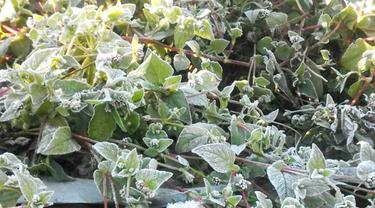Embun es menyelimuti rumput, semak dan tanaman kentang dan sayuran milik petani Dieng, Banjarnegara. (Foto: Liputan6.com/Sudarno SRU RAPI BNA/Muhamad Ridlo)