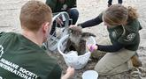 Humane Society International Crisis Response Specialist Kelly Donithan (kanan) memeriksa koala yang terluka di Pulau Kanguru, Australia, 15 Januari 2020. Kebakaran hutan besar-besaran di Australia menyebabkan sejumlah besar koala mati dan banyak lainnya yang terluka. (PETER PARKS/AFP)