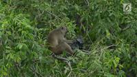 Monyet ekor panjang mencari makan di hutan Taman Marga Satwa Muara Angke, Jakarta,Sabtu (19/1). Muara Angke merupakan kawasan konservasi yang berlokasi di Jakut, yang salah satunya Monyet Ekor Panjang sekitar 148 ekor. (Merdeka.com/Imam Buhori)