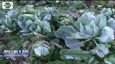 Cuaca ekstrem di Gunung Semeru menyebabkan gagal panen lantaran puluhan hektar tanaman kentang milik petani Tengger rusak akibat diselimuti es.