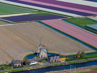 Pandangan udara dari kincir angin dan ladang bunga tulip di Keukenhof, Lisse, Belanda, Rabu (10/4). Tulip beraneka warna tersebar di lahan seluas puluhan hektare. (AP Photo/Peter Dejong)