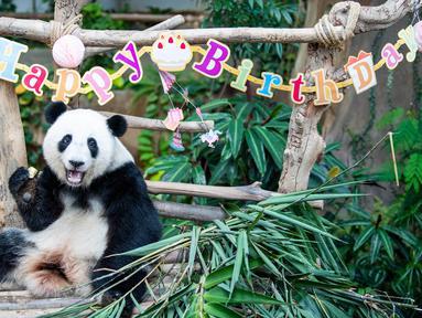 Panda raksasa Yi Yi menikmati kudapan ulang tahun di Kebun Binatang Nasional Malaysia, Selasa (14/1/2020). Para penggemar dan wisatawan dari Malaysia serta luar negeri ikut merayakan hari ulang tahun (HUT) ke-2 Yi Yi. (Xinhua/Zhu Wei)