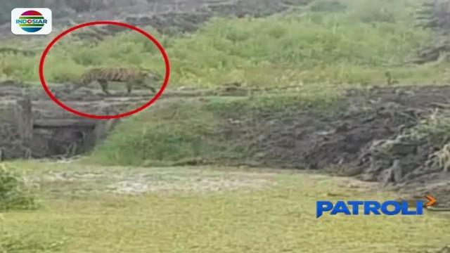 Melalui pantauan CCTV yang dipasang BKSDA Riau, harimau yang telah menewaskan dua warga di kawasan Indragiri Hilir masih berkeliaran di sekitar permukiman penduduk.