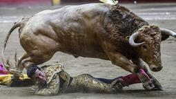 Matador asal Kolombia, Guillermo Valencia terjatuh setelah diseruduk seekor banteng saat bertarung di arena adu banteng La Macarena di Medellin, Kolombia, (3/2). (AFP Photo/Joaquin Sarmiento)