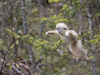 Tingkah monyet emas di Pusat Penelitian Monyet Emas Dalongtan, Taman Nasional Shennongjia, Provinsi Hubei, China, 11 Oktober 2020. Berkat upaya otoritas setempat dan perbaikan lingkungan selama beberapa tahun terakhir, jumlah monyet emas di Shennongjia kini hampir 1.500 ekor. (Xinhua/Wang Siban)