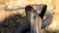 Ular merupakan hewan yang banyak ditakuti manusia. Selain lincah gerakannya, sebagian ular memiliki bisa yang mematikan.