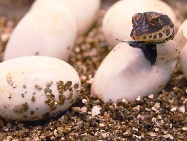 Seekor bayi buaya kerdil Afrika Barat yang baru menetas keluar dari telurnya di taman botani Exotica Planet di Royan, Prancis, Senin (27/8). Buaya kerdil dari Afrika Barat kini masuk dalam daftar spesies terancam punah dunia. (AFP/MEHDI FEDOUACH)