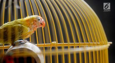 Anakan burung lovebird berusia satu bulan terlihat di dalam sangkar di tempat budidaya Perumahan Pondok Arum, Karawaci, Tangerang, Senin (4/2). Dalam sebulan burung ini mampu bertelur 10 hingga 60 telur tergantung kondisi cuaca. (Merdeka.com/Arie Basuki)