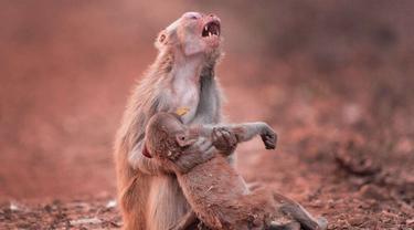 Tangisan Menyayat Induk Monyet Peluk Anaknya yang Mati
