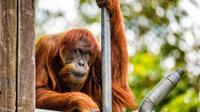 Puan, orangutan Sumatera tertua di dunia, 62 tahun, yang dipelihara oleh kebun binatang Perth, Australia. (Perth Zoo)