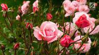 Tidak hanya cantik dan wangi, bunga mawar ternyata menyimpan banyak manfaat bagi kecantikan kulit. (Foto: iStockphoto)
