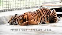 Harimau Sumatera Corina mengalami luka jerat cukup serius yang menempel sampai ke tulang kaki. (dok. Biro Humas KLHK/Dinny Mutiah)