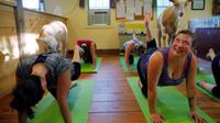 Bagaimana bila Anda ditemani oleh seekor kambing, yang akan melompat ke punggung saat sesi yoga berlangsung? (Reuters/Brian Snyder)