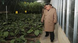 Pemimpin Korea Utara Kim Jong-un melihat sejumlah tanaman saat mengunjungi Jungphyong Vegetable Greenhouse Farm and Tree Nursery yang sedang dibangun di Kyongsong, Korea Utara, Jumat (18/10/2019). Kunjungan tersebut untuk memastikan pasokan makanan stabil. (KCNA VIA KNS/AFP)