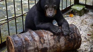 Beruang madu yang diselamatkan BBKSDA Riau karena terpisah dari induknya.