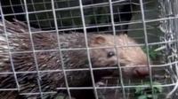 Hewan-hewan dilindungi seperti landak dan kancil di Taman Nasional Gunung Halimun menjadi objek buruan para pemburu.
