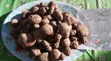 Potensi hutan Garut yang masih luas, bisa menjadi salah satu alternatif penanaman tanaman porang sebagai penghasil umbu-umbian tersebut.