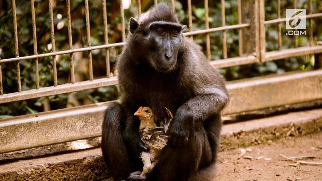 Sebelumnya Niv pernah mendekati ayam lain namun enggan didekati.
