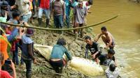Buaya pemangsa manusia saat dievakuasi ke pinggir sungai Kebuhayan Kutim (Kaltim Post/JPG)