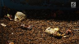 Petugas menunjukkan ulat maggot sedang memakan sampah organik di penakaran Unit Pengolahan Sampah (UPS) 2 Sukmajaya Depok, Jawa Barat, Selasa (5/3). Ulat maggot terbukti dapat mengurangi volume sampah di Depok. (Liputan6.com/Herman Zakharia)