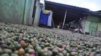 Biji kopi luwak khas Pagaralam yang sedang dijemur (Liputan6.com / Nefri Inge)