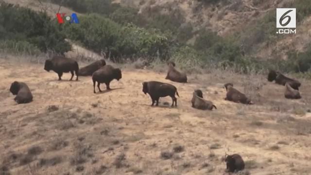 Keunikan bison menjadi daya tarik tersendiri bagi industri pariwisata di pulau Santa Catalina, negara bagian California. VOA