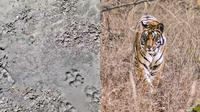 Setelah Setahun Ditutup, Jejak Seperti Macan Ditemukan di Ranu Kumbolo (Sumber: Twitter/@superbagonk/unsplash)