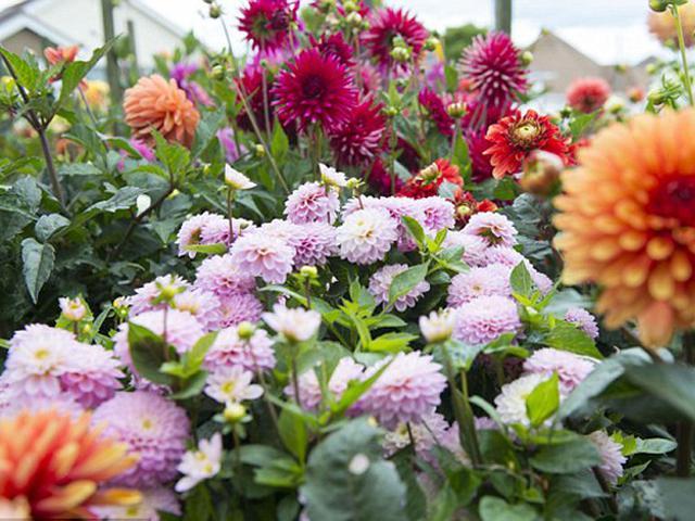 Bunga Dahlia Bisa Diolah Menjadi Makanan Yang Lezat Lifestyle Liputan6 Com