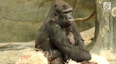 The Chicago Zoological Society telah mengumumkan bahwa seekor gorilla dataran rendah barat di kebun binatang Brookfield telah melahirkan seekor bayi perempuan.