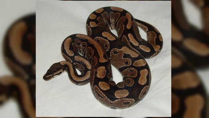Ball Python. (Wikipedia)