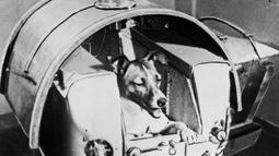 Foto dari harian Soviet Pravda menunjukkan anjing Laika berada di atas Sputnik II untuk eksperimen luar angkasa pada 13 November 1957. Laika merupakan makhluk hidup pertama yang dikirim ke luar angkasa, 3,5 tahun sebelum Yuri Gagarin. (AFP Photo/Tass)