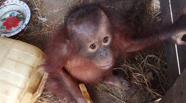 Bayi Orangutan