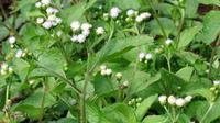 Tumbuhan Bandotan yang dianggap sebagai gulma ternyata mengandung senyawa yang bisa digunakan sebagai obat herbal dan pestisida nabati. (Foto: Liputan6.com/Unsoed/Muhamad Ridlo).