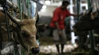 Petugas memeriksa kondisi sapi yang baru saja tiba di Pelabuhan Tanjung Priok Jakarta, Selasa (9/2). Kementerian Pertanian RI mendatangkan sebanyak 500 ekor sapi asal NTT diangkut dengan kapal khusus ternak Camara Nusantara I. (Liputan6.com/Faizal Fanani)