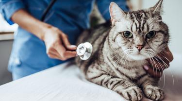 Rentan Stres, Begini Tips Tepat Bawa Kucing ke Dokter Hewan