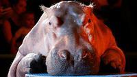 Dibandingkan dengan jenis hewan lain, kuda nil membunuh lebih banyak orang di habitat mereka di Afrika. Hewan itu dikenal sangat agresif. (Sumber Reuters via Daily Mail)