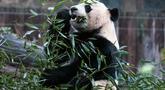 Panda raksasa, Bei Bei memakan bambu sebelum kembali ke China, di Kebun Binatang Nasional Smithsonian, Washington DC, Selasa (19/11/2019). Panda raksasa kelahiran Amerika Serikat ini mendapatkan jet pribadi untuk penerbangannya selama 16 jam pulang ke China.  (AP/Michael A. McCoy)