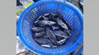 Ratusan ikan kakap putih (barramundi) diterbangkan dari Ambon, Maluku untuk pemulihan siswa Sekolah Calon Perwira TNI Angkatan Darat (Secapa AD) yang terpapar COVID-19 yang dipanen kelompok budidaya Botol Bekas di Ambon, Maluku pada Sabtu (11/7/2020). (Dok Badan Nasional Penanggulangan Bencana/BNPB)