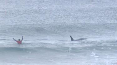 Pada potongan video memperlihatkan paus pembunuh (orca) melewati peselancar Afsel, Shanon Ainsle di tengah kejuaraan selancar di Unstad, Norwegia, Sabtu (23/9). Paus pembunuh itu berenang dekat para peselancar beraktivitas. (HO/LOFOTEN MASTERS 2017/AFP)