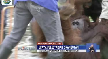 Orangutan kerap jadi buruan untuk bahan obat maupun dimusnahkan karena dianggap hama. Oleh karena itu, sejumlah pusat rehabilitasi upayakan melepasliarkan orangutan di alam bebas.