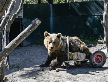 Dibantu Roda, Begini Kehidupan Usko si Beruang Lumpuh