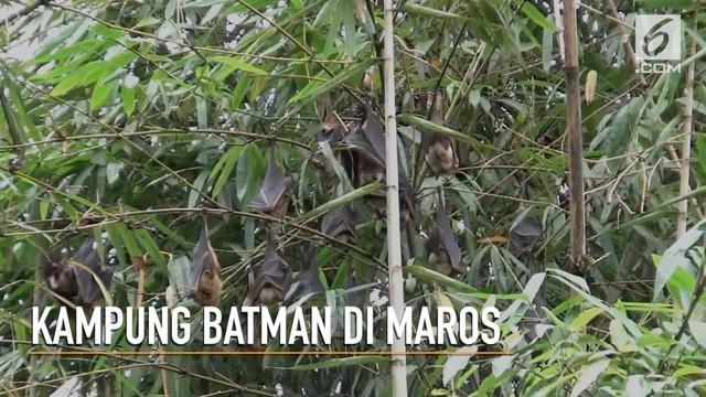 Ribuan kelelawar huni sebuah dusun di Maros, Sulawesi Selatan. Mereka sudah puluhan tahun tinggal disana.