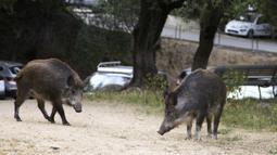 Dua ekor babi hutan memakan rumput di taman dekat dengan permukiman warga di Ajaccio, di pulau Mediterania Prancis, Corsica (18/4/2020). Kehadiran mereka akibat kebijakan lockdown atau karantina wilayah yang diberlakukan pemerintah Prancis. (AFP/Pascal Pochard-Casabianca)