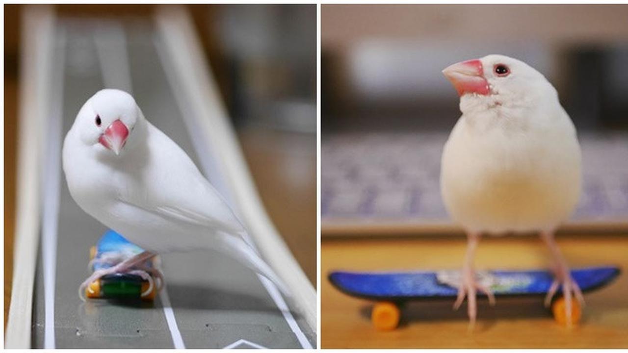 Aksi Burung Bermain Skateboard Ini Sangat Atraktif dan Keren Banget