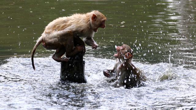 Monyet Berenang di Kolam