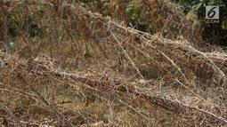 Kondisi tanaman yang mengering bantaran kanal banjir barat (KBB), Jakarta, Kamis (25/7). Musim kemarau panjang yang terjadi di Ibu Kota menyebabkan pekarangan warga di sepanjang KBB mengalami kekeringan. (Liputan6.com/Immanuel Antonius)