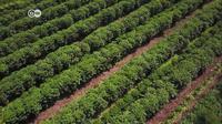Kopi bukan hanya sekadar ekspor teratas bagi Kosta Rika. (DW)