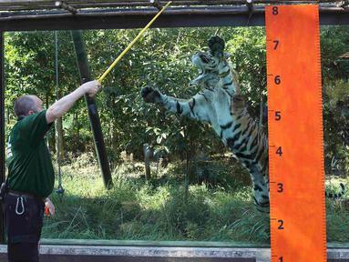 Seorang pawang harimau memberi makan seekor Harimau Sumatera di Kebun Binatang London, Inggris, Rabu (24/8). Harimau tersebut akan diukur berat badannya yang rutin dilakukan setiap tahun. (REUTERS / Neil Balai)